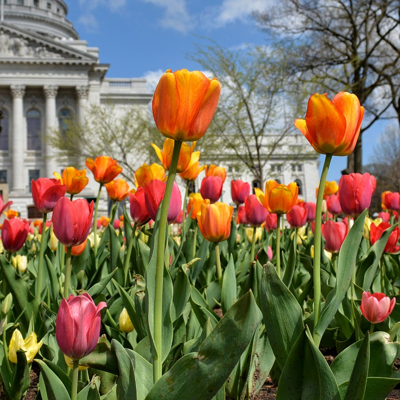Gold and red tulips in front of the Capitol