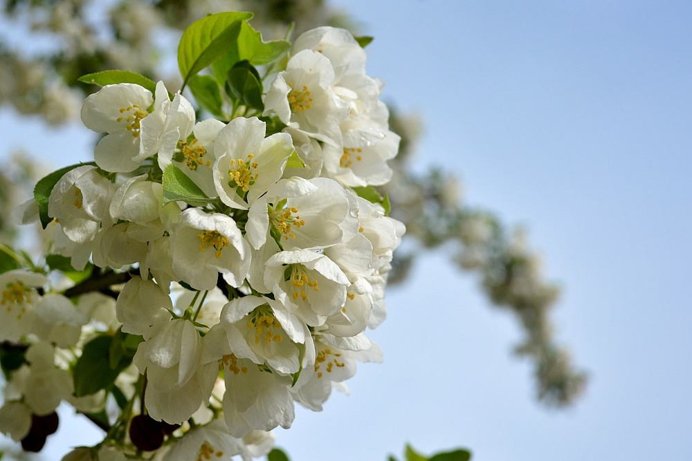 white crabapple blossoms against a blue sky