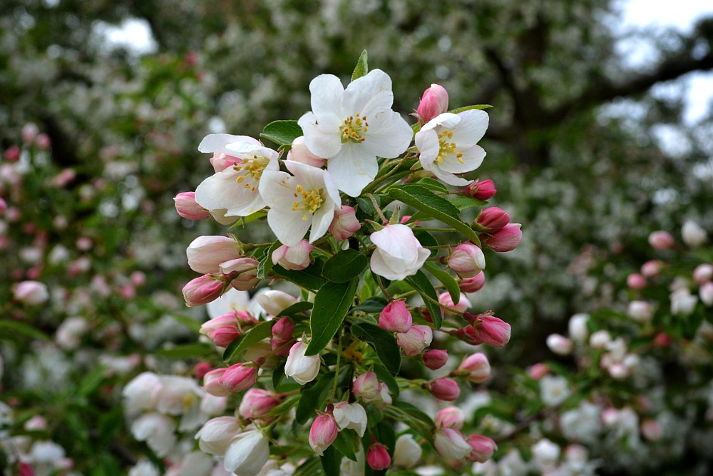 pink and white crabapple blossoms