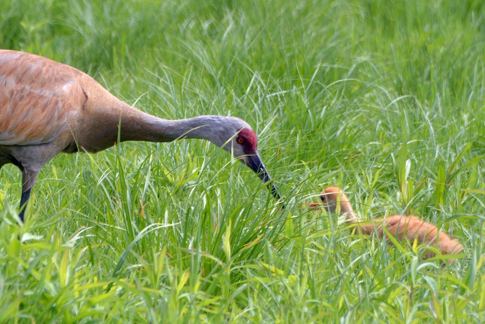 sandhill crane bending down to check on their chick