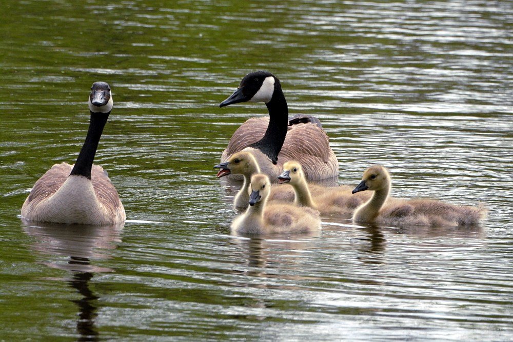 Two adult geese swimming with four goslings
