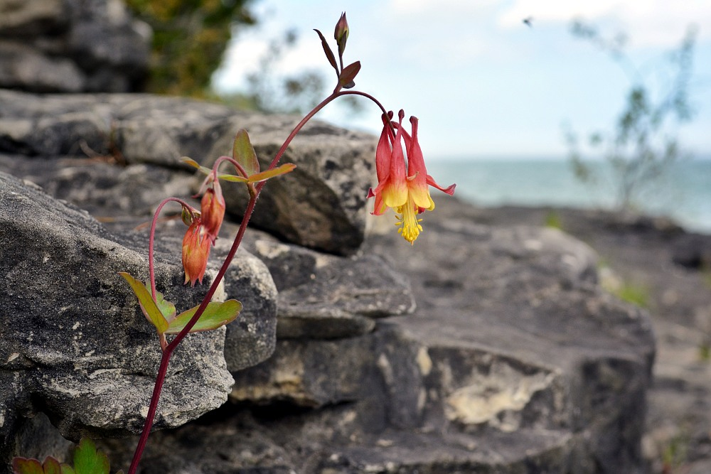 Red columbine flower, growing out of limestone along a lake