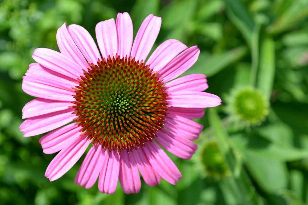 top view of a purple coneflower