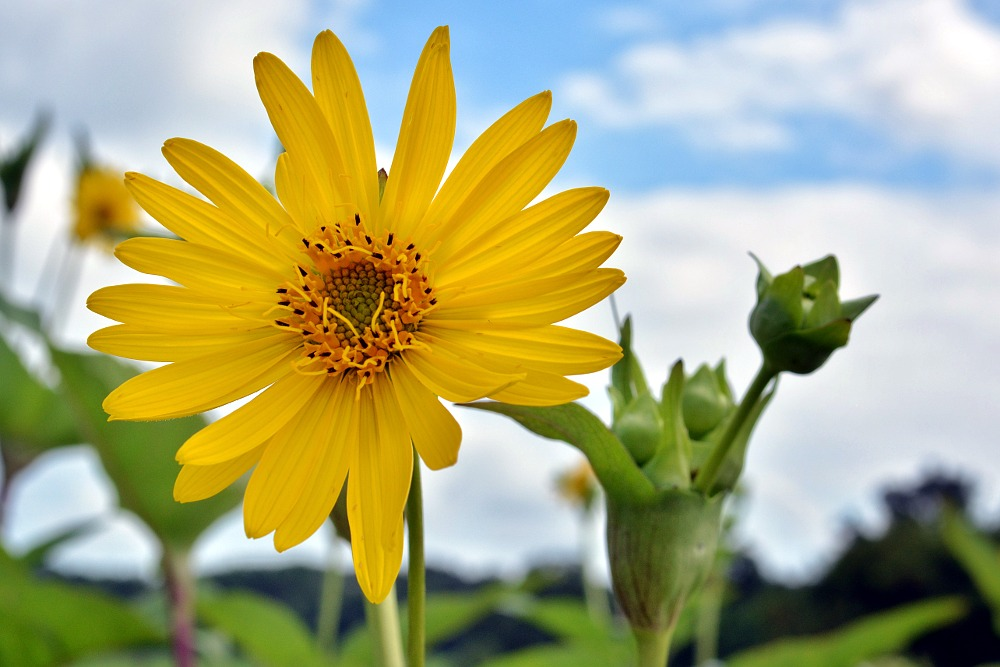 woodland sunflower against