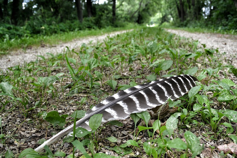 Hawk feather laying in the middle of a trail