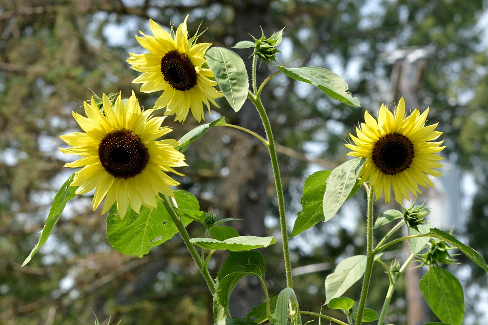 three sunflower blossoms at the top of a stalk