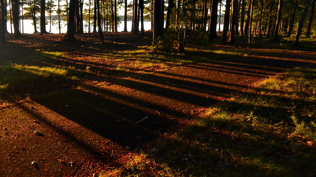 Pine trees casting long shadows on a path