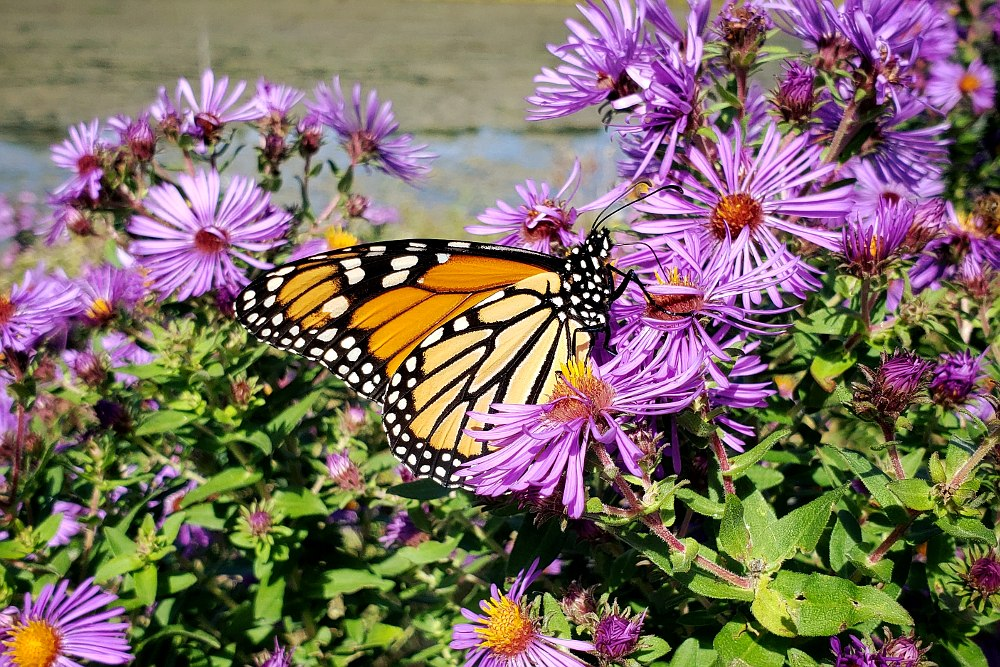 Monarch butterfly on purple aster