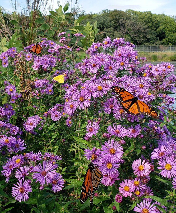 Three Monarch butterflies on a group of purple asters