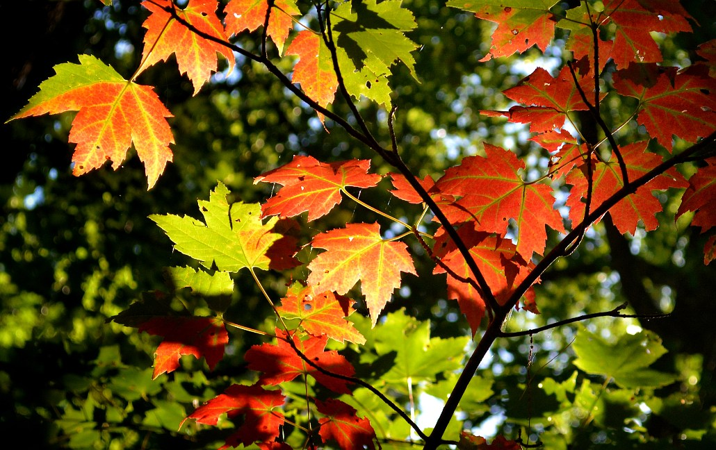 Backlit maple leaves in various stages of changing colors