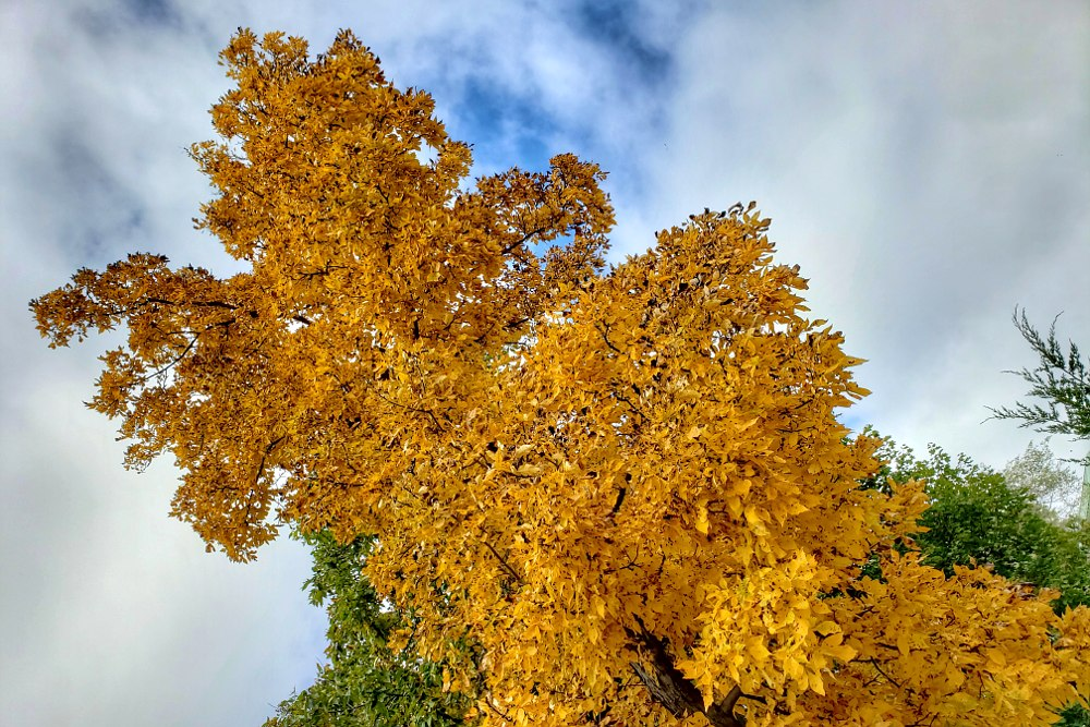 Ash tree with yellow leaves reaching up to a cloudy sky