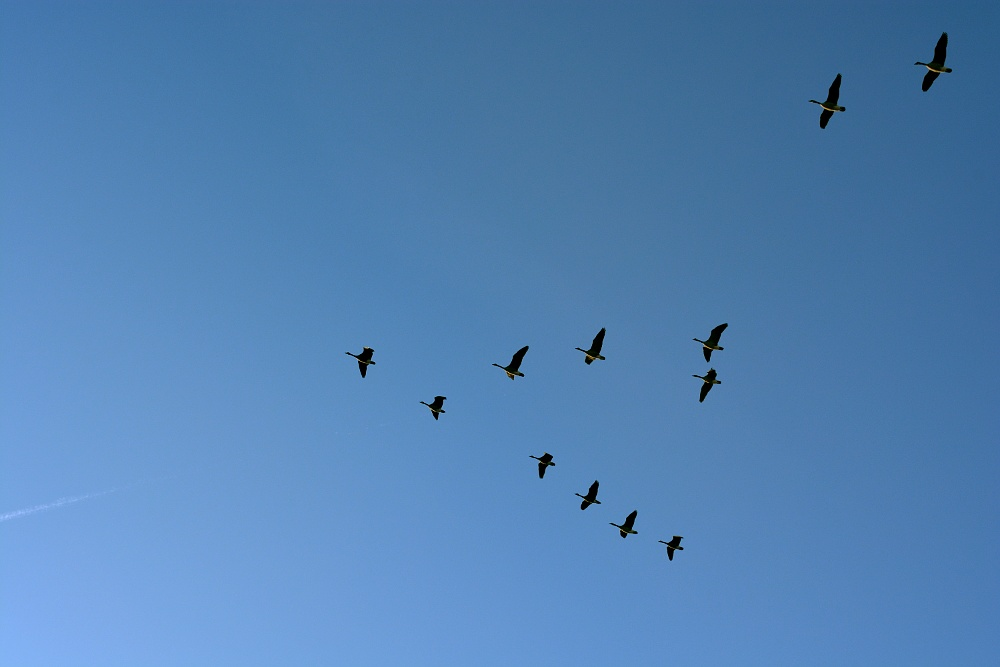 geese flying in a v-formation in a blue sky