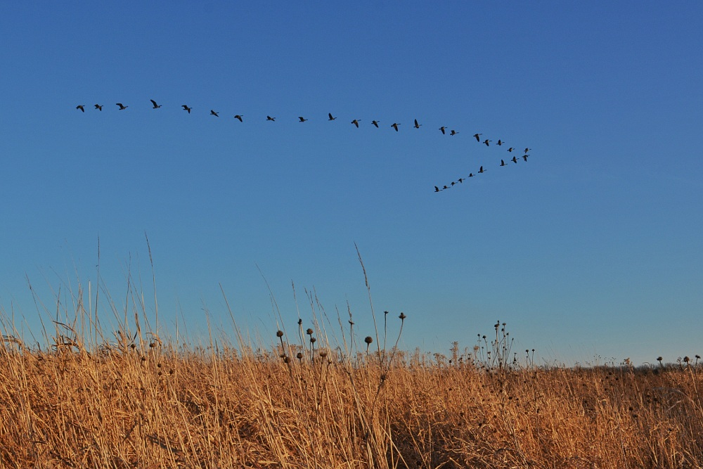 geese flying in a v-formation over prairie grass
