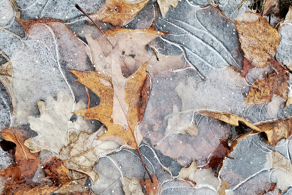 A bunch of leaves in a frozen puddle