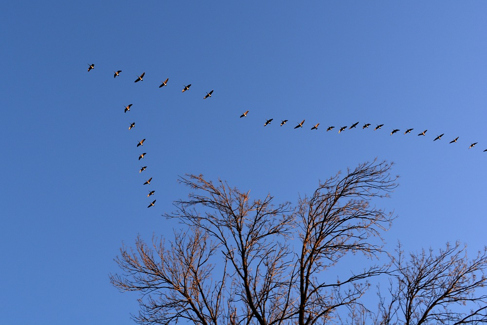 geese flying in a v-formation above some trees in a clear blue sky