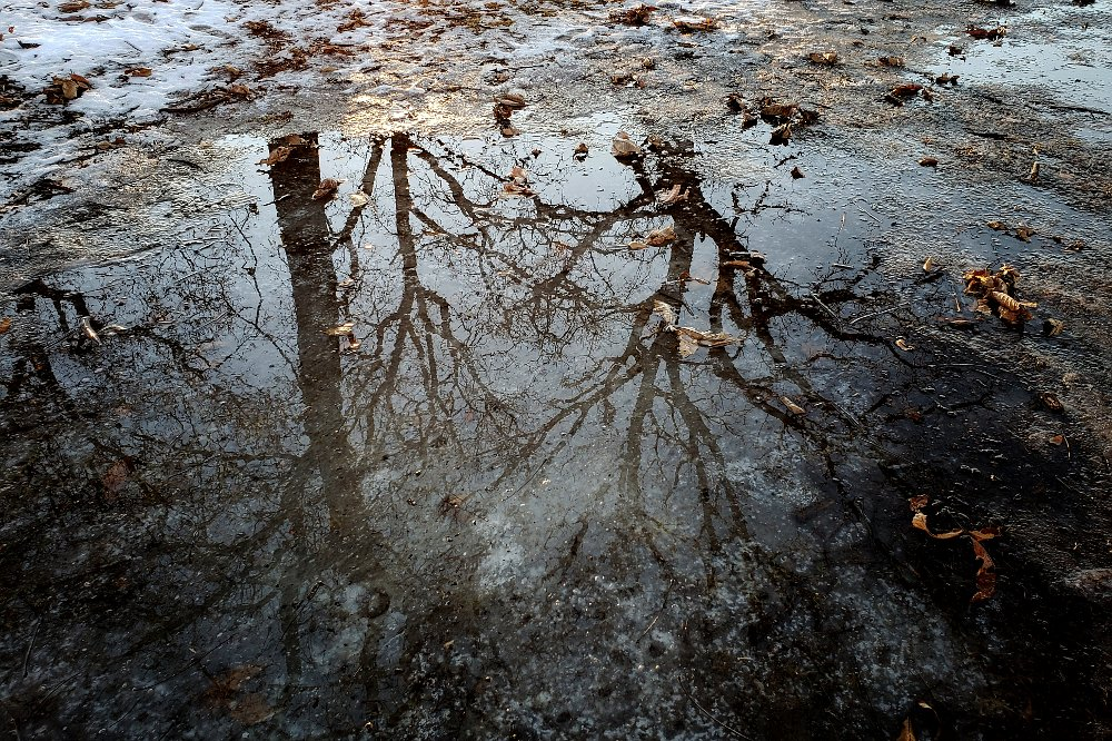 Trees reflecting in a puddle from melted snow