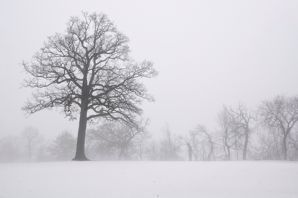 Oak tree standing in snow, with small trees shrouded by fog in the background