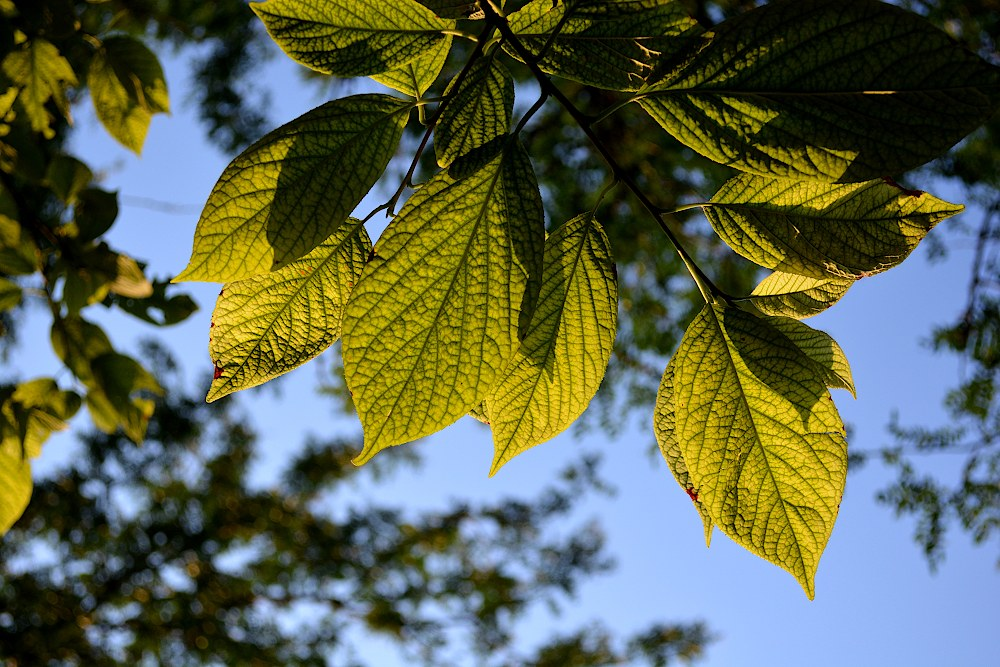 branch of leaves backlit, showing the veins in each leaf