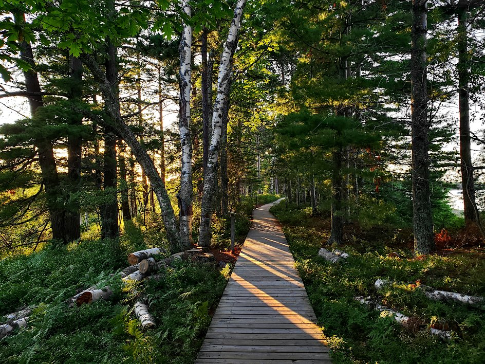 Evening sunlight shining through pine and birch trees with a boardwalk leading through the scene
