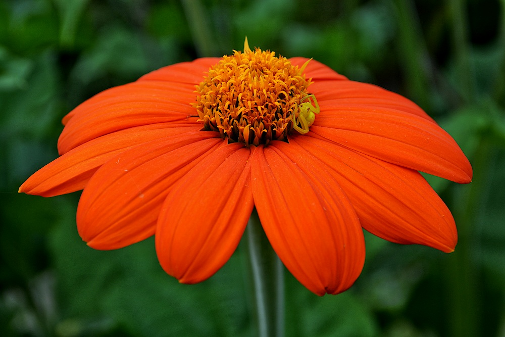 Orange zinnia with a small yellow spider near the center of the flower