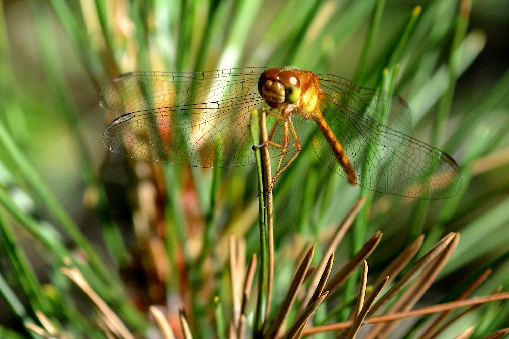 dragonfly perched on pine tree needles