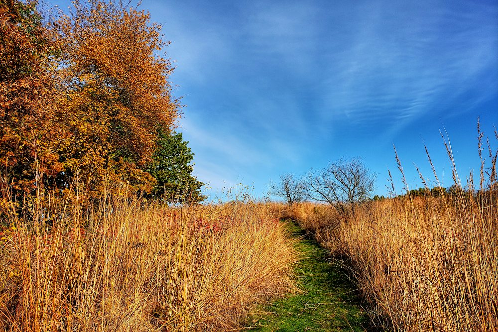 Hiking trail leading through golden tall grass, with yellow leaved trees on the side, under a mostly blue sky