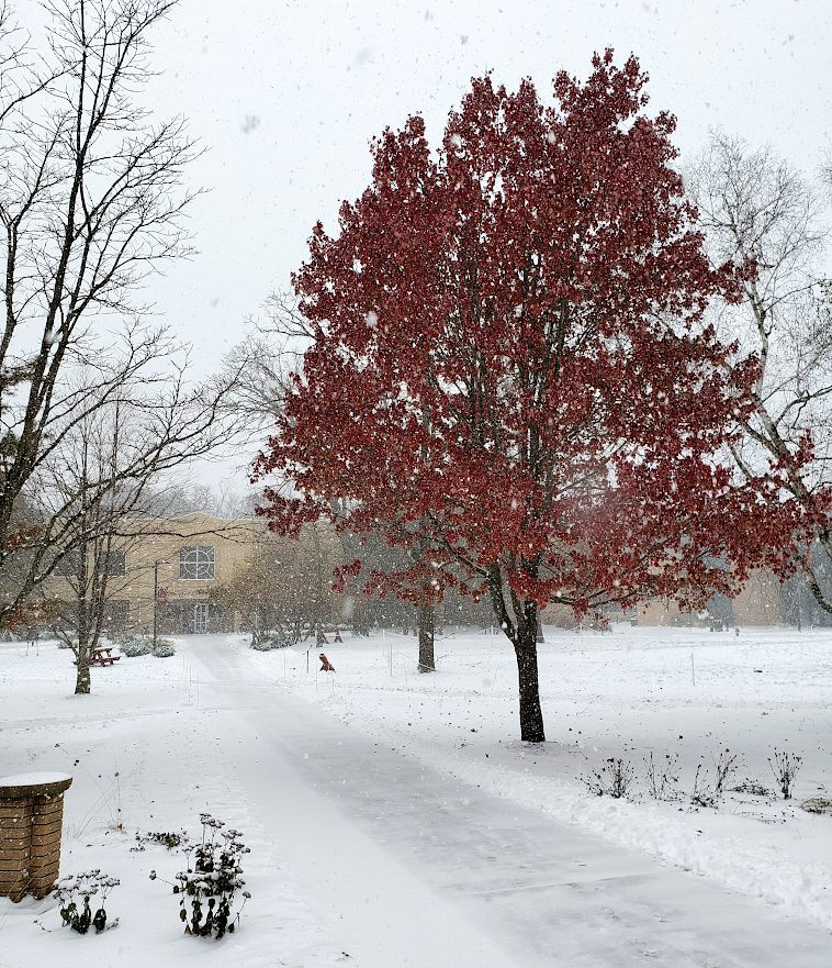 Courtyard with a red maple tree in a snowstorm