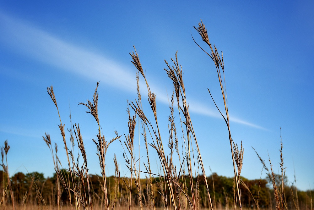 Several stalks of tall grass in front of a blue sky with streaky clouds