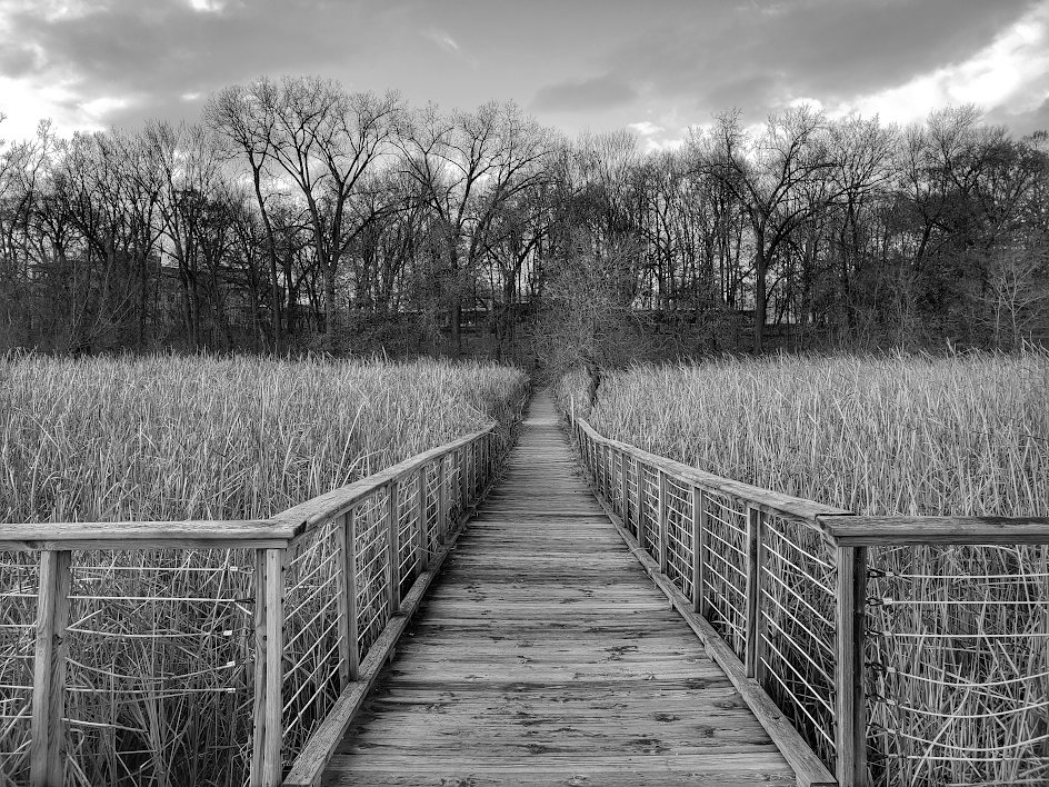 boardwalk through tall grass leading to a line of bare trees