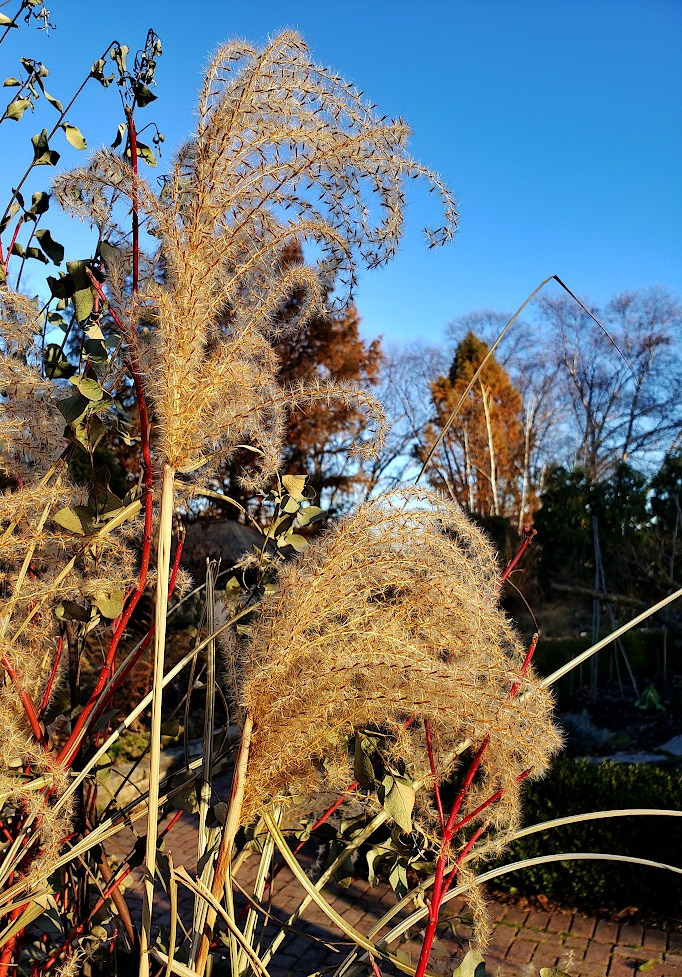 Tall ornamental grasses curl over next to a garden path, under a blue sky