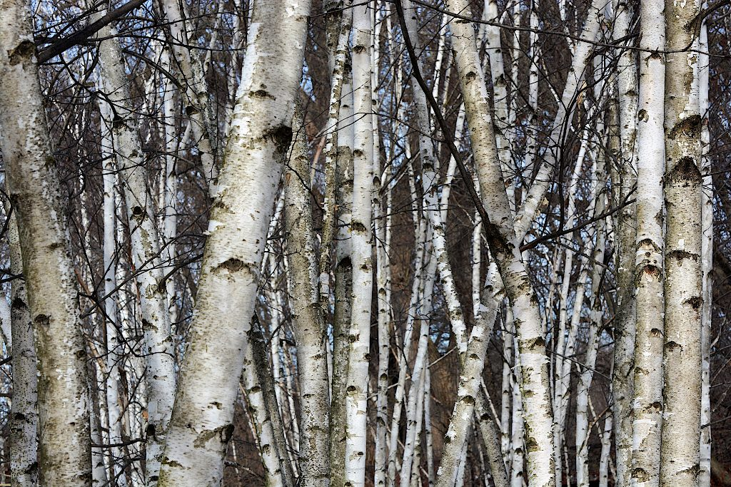 A thick grove of bare birch trees