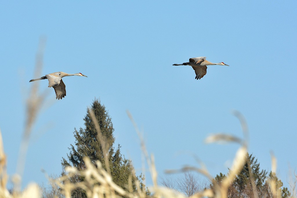 Two sandhill cranes flying in a blue sky with trees in the background