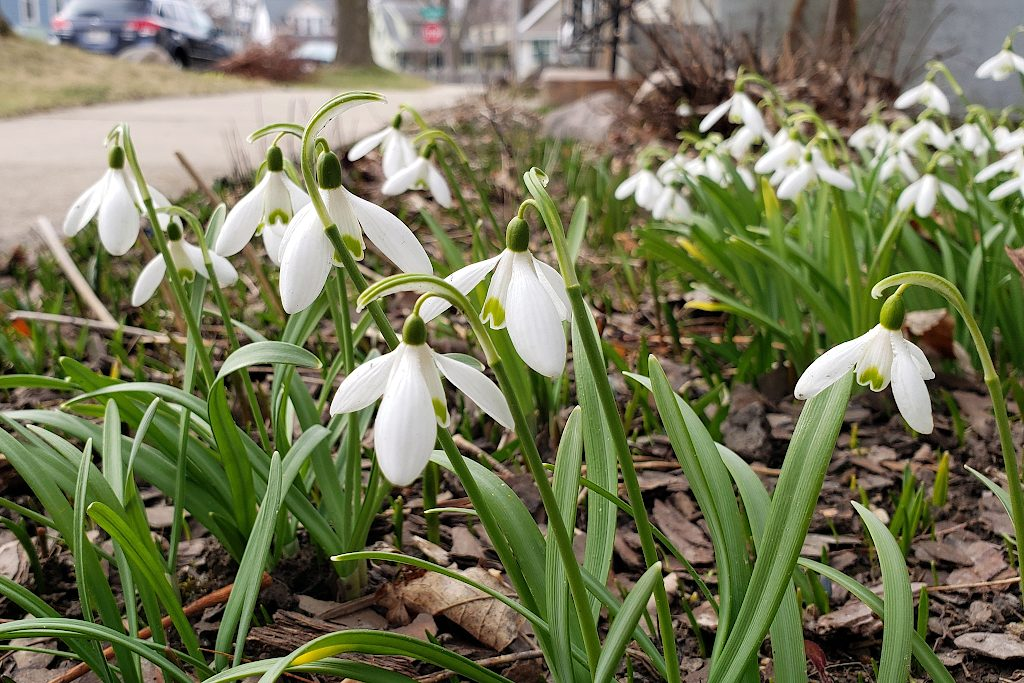 Snow drop blossoms next to a sidewalk
