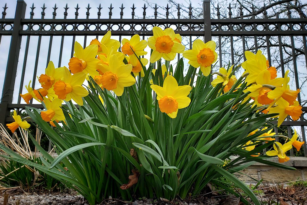 Daffodils in front of a decorative fence