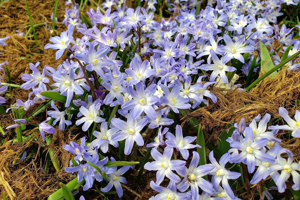 group of purple scilla blossoms