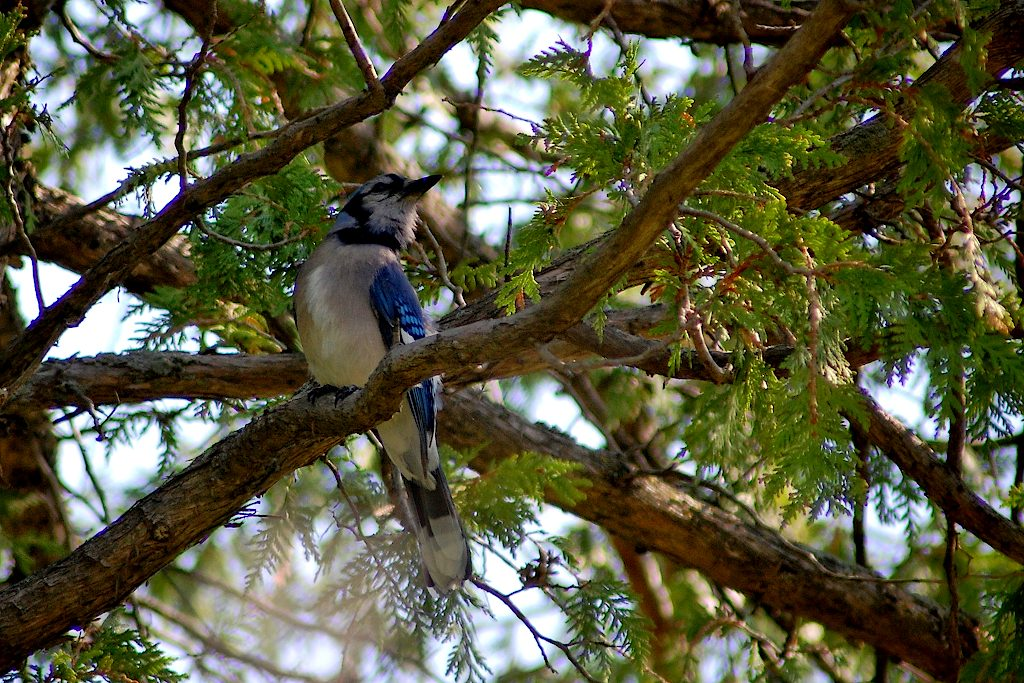 Blue jay perched on an interior branch of a cedar tree