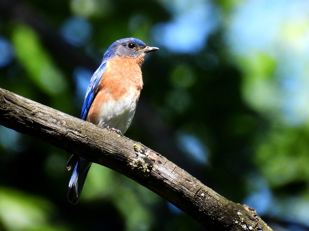 Bluebird perched on a tree branch