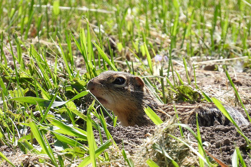 Ground squirrel, peeking its head out of a hole in the ground, surrounded by grass