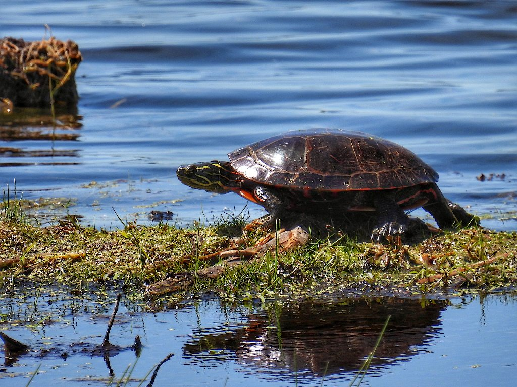 Turtle standing on a grass patch in the middle of a pond