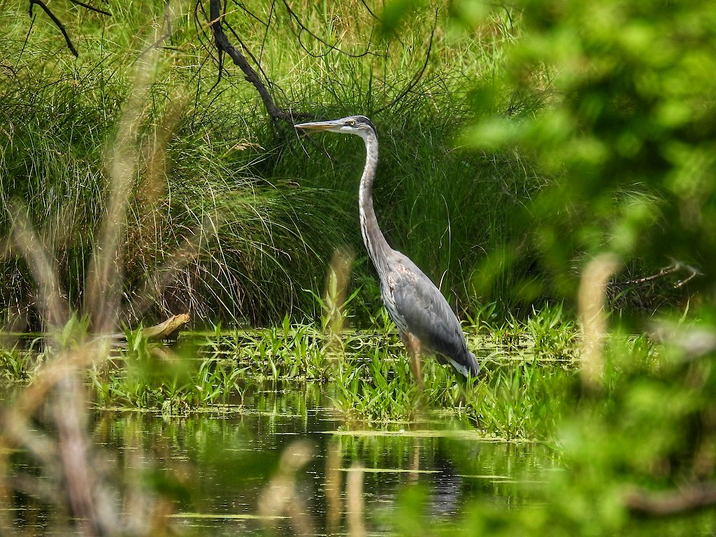 Blue heron standing in a marshy creek, surrounded by foliage
