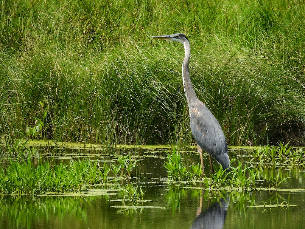 Blue heron standing in a marshy creek, in front of tall grass
