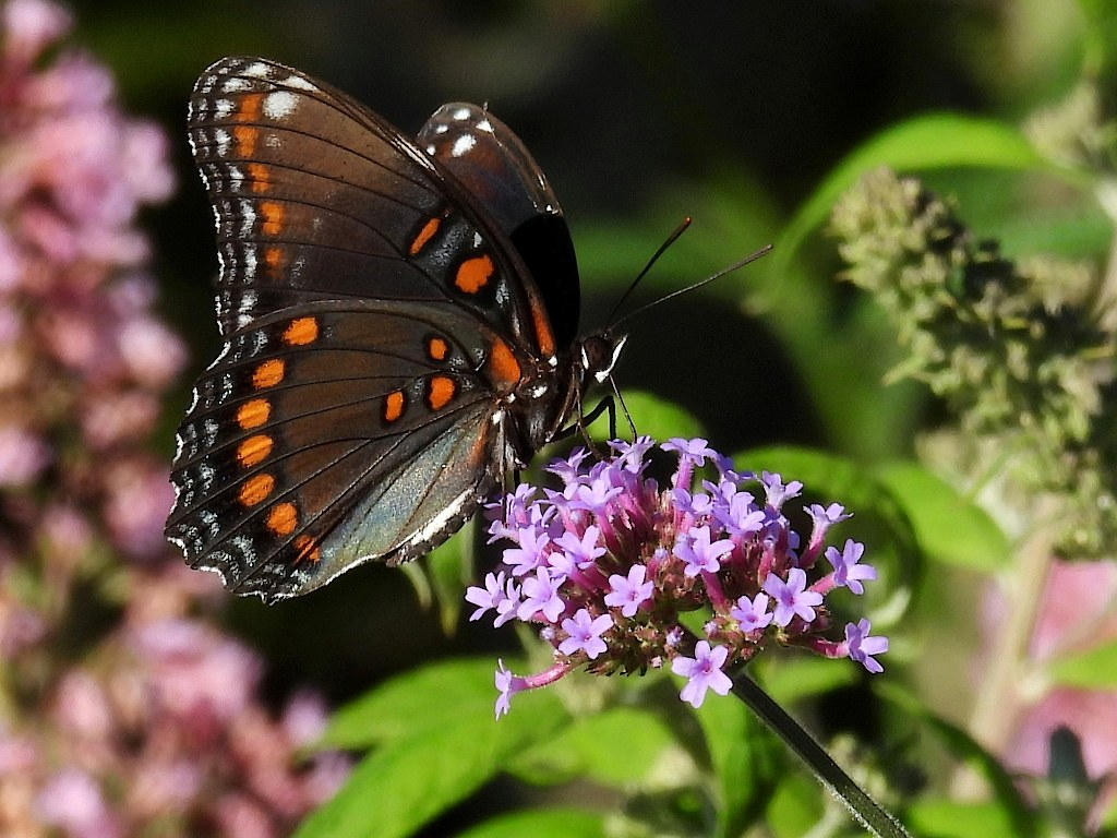 Red-spotted purple butterfly perched on a purple flower