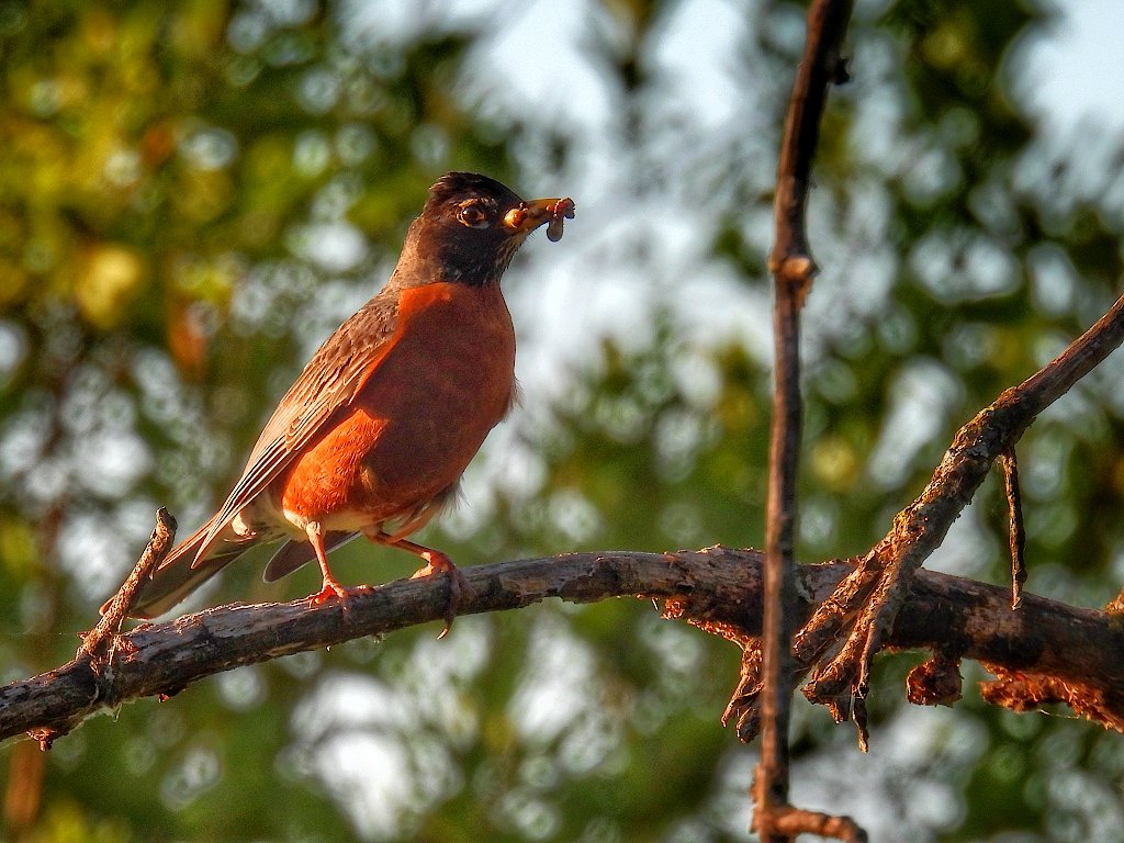 American robin perched on a tree with a worm in its beak