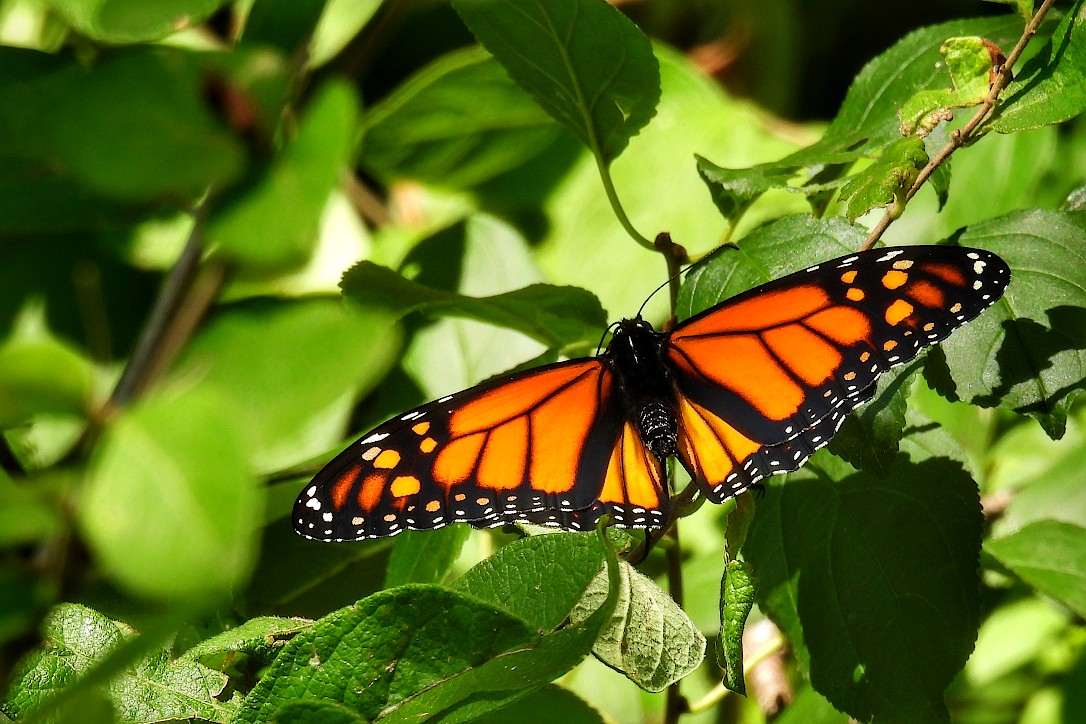Monarch butterfly perched on a branch with green leaves
