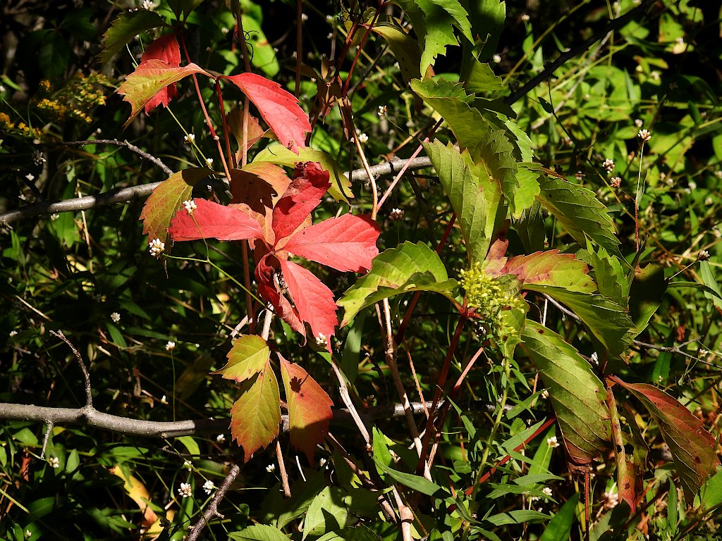 A few leaves starting to turn red in the middle of green foliage