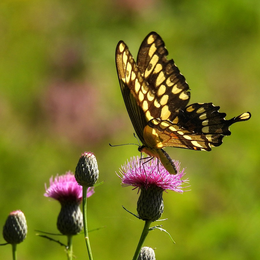 Swallowtail butterfly getting nectar from a blossom