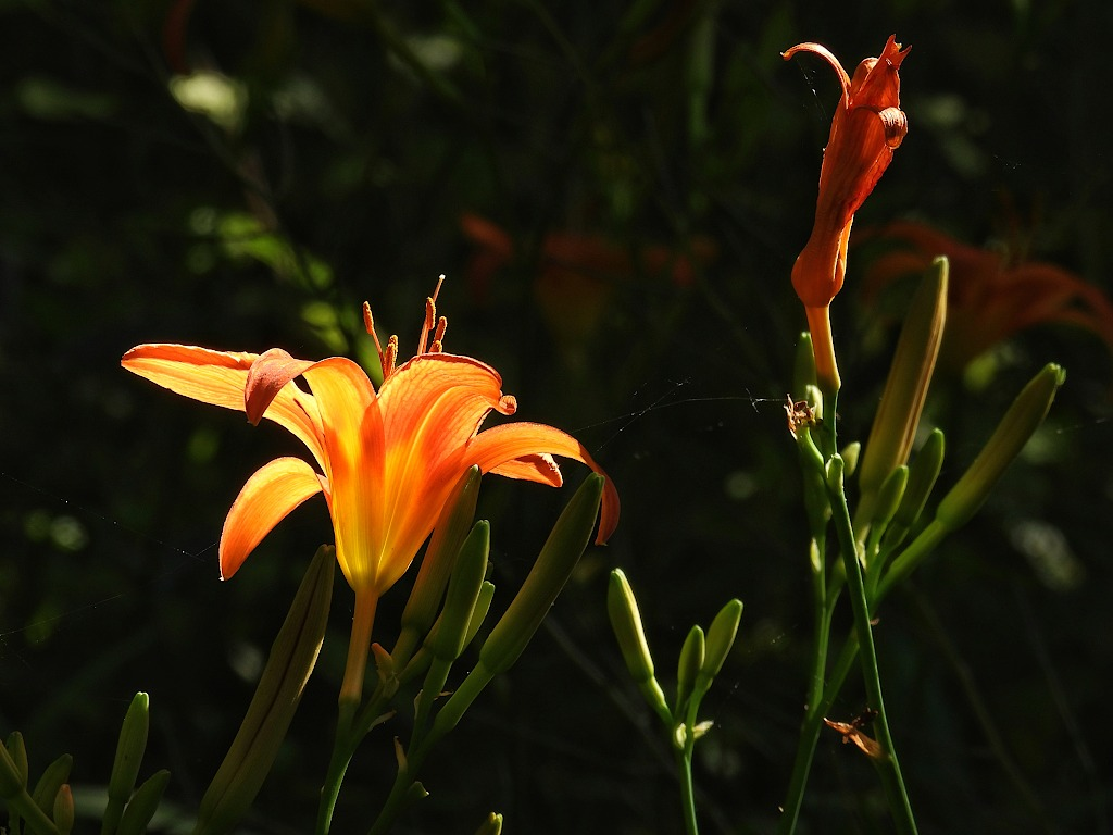 Daylily blossom being spot lit by the sun, with a shadowy forest background