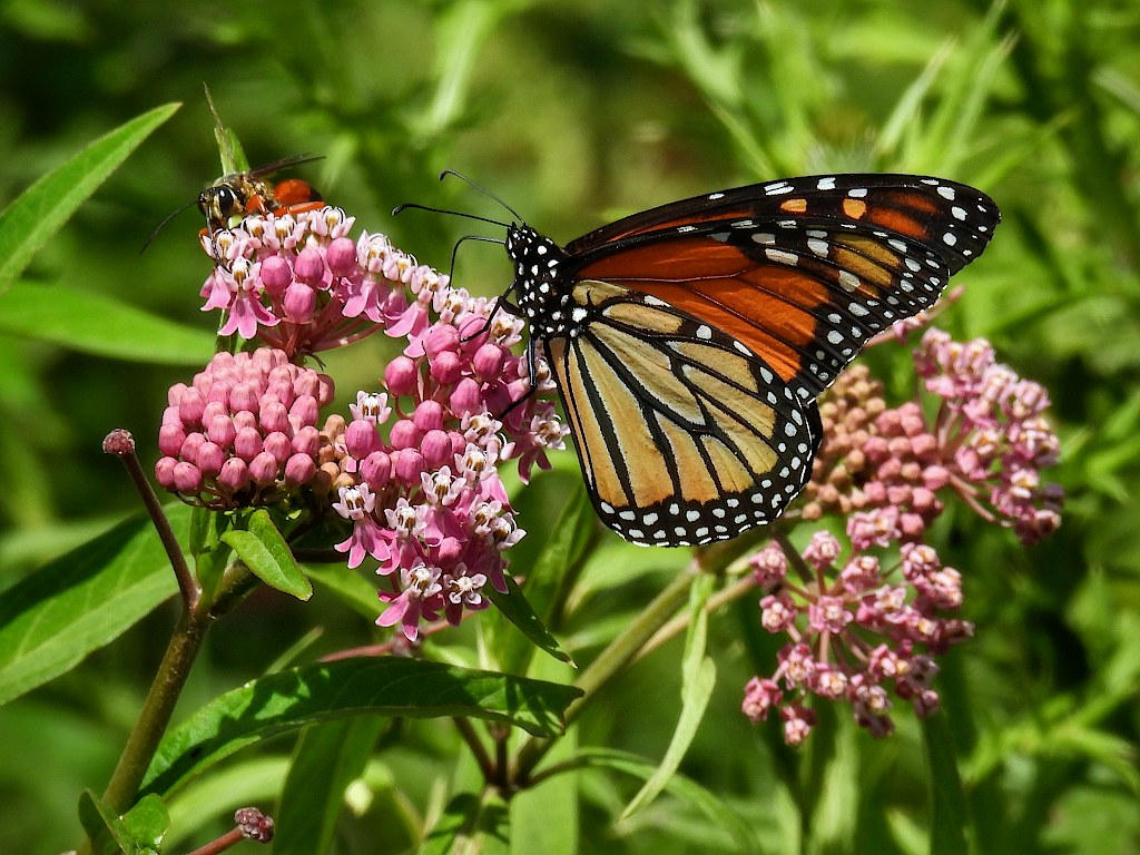 Monarch butterfly perched on some pink blossoms