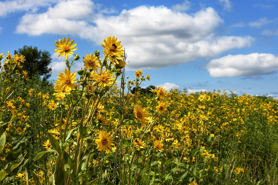 Large meadow filled with woodland sunflowers, under a partly cloudy sky