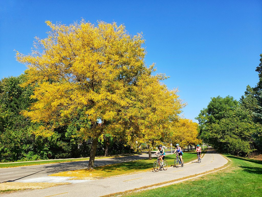 Tree with yellow leaves in front of three bicyclists on a bike trail